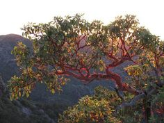 Found along the North American coastline from British Columbia to Baja California, Pacific madrone trees (Arbutus menziesii) are well known for their beauty, but more often are known for being cold to the touch.