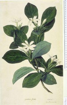 Gardenia-taitensis-aka-Tahitian-Gardenia-or-Tiare-Flower-botanical-print.jpg (500×782)