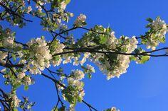Omenapuun kukkia. Fruit, Places, Twitter, Lugares