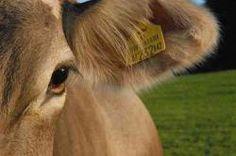 L'Unione Europea riabilita le farine animali negli allevamenti