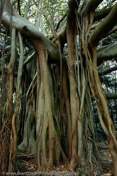Lord Howe Banyan roots