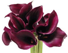 Dark Purple and Burgundy Calla Lily Flowers Purple Calla Lilies, Calla Lily Flowers, Burgundy Flowers, Fall Flowers, Wedding Colors, Wedding Flowers, Wedding Bouquet, Wedding Flower Inspiration, Wedding Ideas