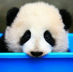 cute Panda for sale Panda Funny, Cute Panda, Panda Facts, Panda Lindo, Panda Bebe, Baby Panda Bears, Panda Wallpapers, Lovely Creatures, Cute Baby Animals