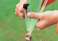 Comment et quand diviser les iris