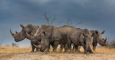 For World Rhino Day, wildlife photographers celebrate the magnificent creatures in Africa and Asia. African Elephant, African Animals, Wildlife Photography, Animal Photography, Rhino Animal, Rhino Art, Safari, English Bull Terriers, Frases