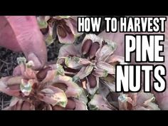 October and November is pine nut season! So let's get going so you can learn to harvest your own pine nuts and know how to use the pine cone for survival.