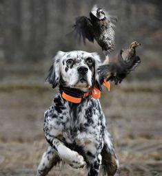 Beautiful bird hunting dog on point