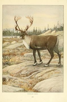 Wild animals of North America, intimate studies of big and little creatures of the mammal kingdom. - Biodiversity Heritage Library