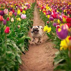 Pug & Tulips.