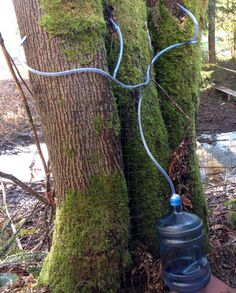 tapping three maple trees at a time Maple Syrup Evaporator, Sugar Bush, Homemade Syrup, Wild Edibles, Maple Tree, Garden Trees, Fruit Trees, Farm Life, Backyard Landscaping