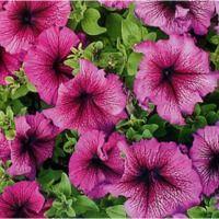 Petrezselyem (kertben) - Növények gondozása Petunias, Flowers, Plants, Room, Bedroom, Rooms, Plant, Royal Icing Flowers, Flower