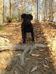 Magenta is an adoptable Black Labrador Retriever Dog in Alpharetta, GA. Magenta is a TRUE MOVIE STAR! She is a 15 week old lab mix puppy. She has 2nd set of shots. She is crate trained and well social...