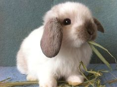 Holland Lop Bunnies are so SO cute but too needy for my life rn Mini Lop Bunnies, Cute Baby Bunnies, Cute Baby Animals, Animals And Pets, Funny Animals, Cute Babies, Dwarf Bunnies, Cutest Bunnies, Tiny Bunny