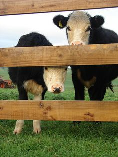 WELL WE WANT TO GO VIRAL TOO..  WE MEAN MOO.....  COULD YOU GUYS GIVE US A SHOUT TO A RE-PIN . THANKS