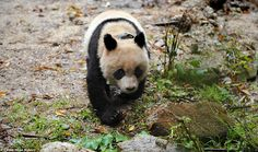 Tao Tao Becomes the First Captive Bred Panda to be Released into the Wild.