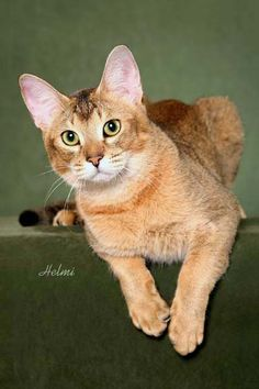 Willowind Maafi, a brown ticked Chausie male.  Photo by Helmi