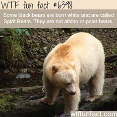 10 Crazy WTF Facts About Bears - World's largest collection of cat memes and other animals Wtf Fun Facts, True Facts, Funny Facts, Funny Memes, Crazy Facts, Random Facts, Cat Memes, Random Stuff, Random Things