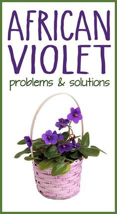 A list of common African Violet problems with descriptions and solutions. #gardening #flower #africanviolet #tips #care #help #problems