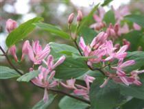 LONICERA TATARICA 'ROSEA' rusokuusama  Pysty-, vanhana kaartuvaoksainen, tummanvihreä, suuri pensas. Runsas kukinta kesä–heinäkuussa. Kuka...