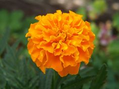 Fall is the season to sow, Marigold flower seeds, in time to harvest them for the holiday season. In orange, red, and other warm colors of autumn they can be bought from any home goods online store. These go well with other vintage home accessories for celebrations, weddings and to mark holy days. Seeds can be sown directly into the garden, to enhance your pottery barn home decor.