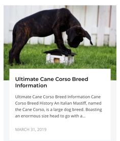 Ultimate Cane Corso Breed Information - Train Your Own Dogs Cane Corso Dog Breed, Cane Corso Italian Mastiff, Large Dog Breeds, Large Dogs, Collar Top, High Collar, Group Of Dogs, Very Tired, Second Baby