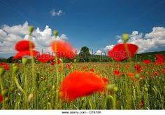 Image result for poppy fields