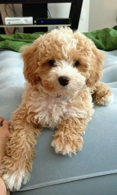 I want a cavapoo (king charles cavalier/poodle mix) he looks like a teddy bear!
