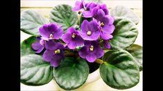 Violetas como cuidar/ Violet caring