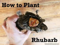 Ever wanted to plant rhubarb but didnt know how? Perennial Vegetables, Fall Vegetables, Growing Rhubarb, Planting Bulbs, Grow Your Own Food, Garden Planters, Garden Planning, Gardening Tips, Outdoor Gardens