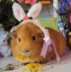 Pumpkin the Easter Bunny Pig