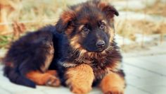 Best Red German Shepherd Puppies Wallpaper