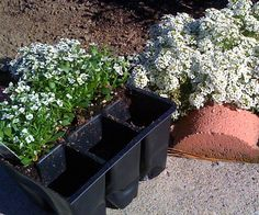 Sweet Alyssum- this flowering plant attracts ladybugs and lacewigs, both of which devour aphids. This will help save your veggie garden from aphids and other harmful bugs. Also, DOG SAFE!!! :)