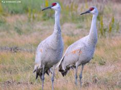 You never know what you'll encounter on the island. Today it's Sandhill Cranes. #Birding #LoveGalveston