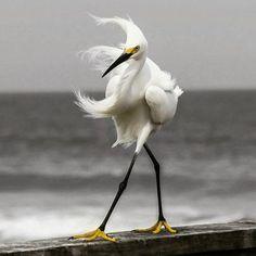 Egretta garzetta / Little egret / czapla nadobna Pretty Birds, Love Birds, Beautiful Birds, Animals Beautiful, Animals Amazing, Small Birds, Animals And Pets, Funny Animals, Cute Animals