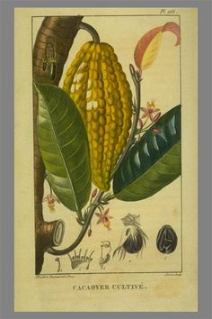 I love old photos of cocoa beans and pods. Who knew this is where chocolate came from.