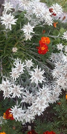 Edelweiss, Edelweiss, pure and white, clean and bright ... #Edelweiss #Alps