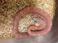 Hypo Plasma Cornsnake – BHB Reptiles