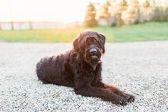 Black Labradoodle Dog