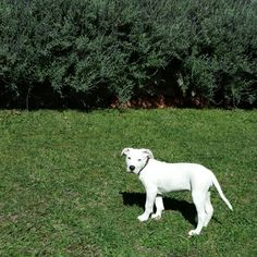 American Bulldog puppy Willa ♥