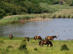 Wild horses in the South of Langeland - Pinned by Æblegaarden B&B, Langeland, Denmark, www. Baltic Region, Faroe Islands, Wild Horses, Ponies, Danish, Norway, Countries, God, Heart