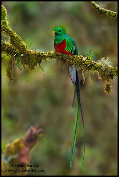 Resplendent Quetzal (Pharomachrus mocinno). To the ancient Aztec and Mayan peoples the Quetzal was a sacred symbol of freedom and wealth.