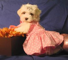 maltese puppies dressed up | Zoe Fans Blog