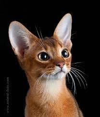 абиссинская кошка окрас дикий - Поиск в Google
