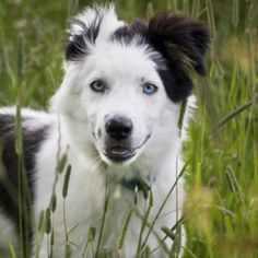 Border Collie... the smartest dog... reminds me of my Daisy...she's red and white.... oh, my... she'll be 12 next month and has stage 3 chronic renal failure... I don't know what I'll do when she leaves me....