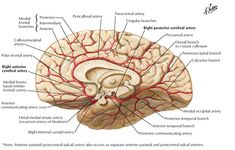 Image result for anterior cerebral artery branches