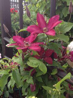 Clematis in my garden