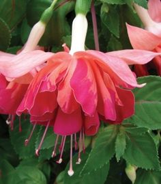 "Fuchsia Marbella Collection. A new series of giant, double flowered Fuchsias. Each petal has unique colourful marbling and the blooms hang naturally trailing to cascade from baskets and containers from July to October. Trailing to around 50cm (20"") five plants will easily fill a 14"" basket. Prefers well-drained soil in sun or part shade. Tender perennials. hayloftplants.co.uk"