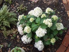 Image result for hydrangea macrophylla white