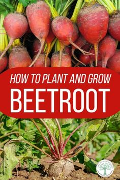 Everything you need to know about planting, caring, harvesting, preserving and even cooking beetroot in your garden. #gardening #beets #beetroot