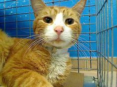 2 year old Morris needs out of NYCACC NOW!!! TO BE DESTROYED 6/1/13 Brooklyn Center  My name is MORRIS. My Animal ID # is A0966550. I am a male org tabby and white domestic sh mix. The shelter thinks I am about 2 YEARS   I came in the shelter as a STRAY on 05/26/2013 from NY 11236, owner surrender reason stated was STRAY.